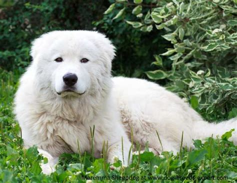 maremma golden retriever mix maremma sheepdog breed information