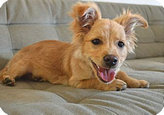 pomeranian and dotson mix dameranian pomeranian x dachshund mix info temperament pictures
