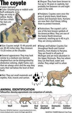 facts about coyotes for kids north american wildlife coloring pages free coyote