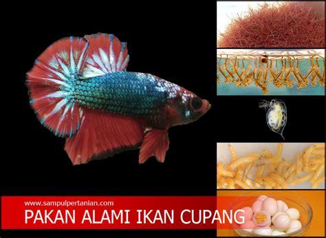 Pakan Ikan Cupang Cepat Besar inilah pakan alami ikan cupang agar cepat besar yang mudah