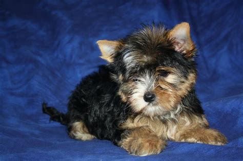 how much is a miniature yorkie 1000 images about terrier puppies on terrier yorkies