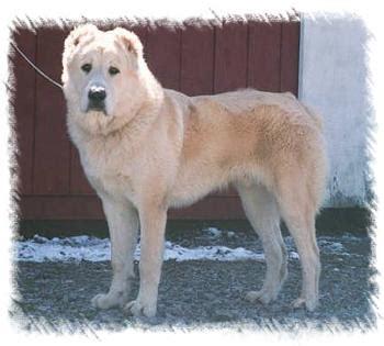 asian dogs central asian shepherd dogs vihimu47 blogcu