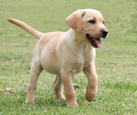 lab puppy cost labrador retriever pet care facts