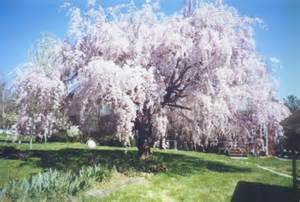 dwarf weeping cherry tree pictures rynakimley