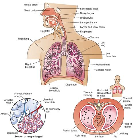 diagram of the respiratory system human respiratory system diagram labeled human