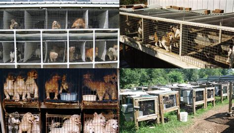 missouri puppy mills talking dogs at for of a puppy mill week horrible hundred 2016