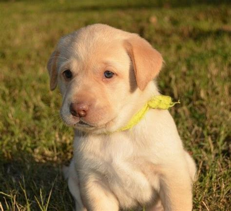 dudley lab puppies 18 best images about dudley labs on yellow labrador puppies and