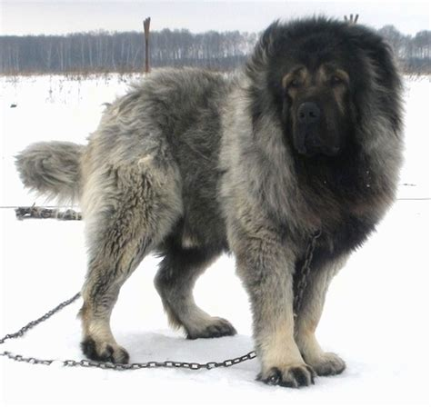 caucasian mountain attack vastelin the caucasian sheepdog is standing outside in snow and looking to the left
