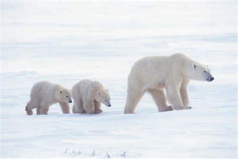 Canadian Homes by Polar Bear Description Habitat Amp Facts Britannica Com