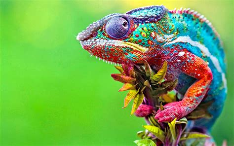 colorful chameleon chameleons colorful macro animals wallpapers hd