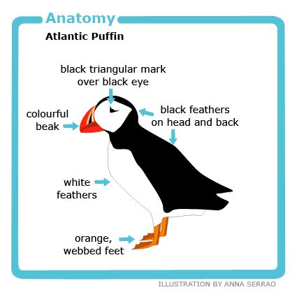 tywkiwdbi quot tai wiki widbee quot the quot crooked forest quot of best 28 atlantic puffin adaptations atlantic puffin