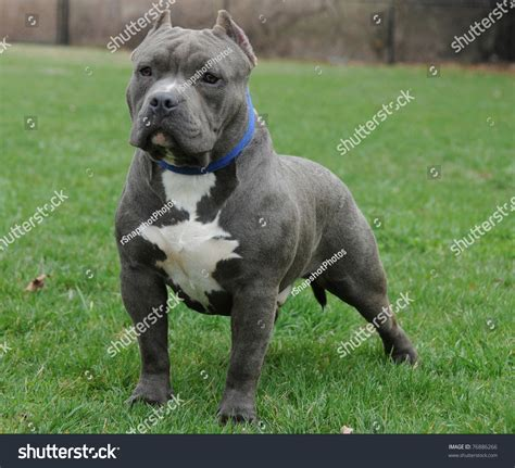 blue nose bully puppies purebred canine blue nose american bully stock photo 76886266