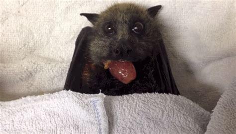 imagenes de uvas gif adorable beb 233 murci 233 lago rescatado le encanta comer uvas