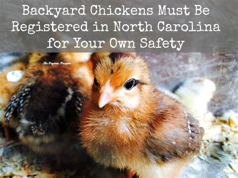 Backyard Chickens Safety Backyard Chickens Must Be Registered The Organic Prepper