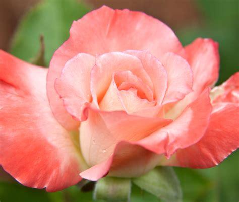 diana princess of wales rose american rose society