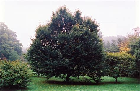 Home Decorating Program European Hornbeam Carpinus Betulus In Columbus Dublin