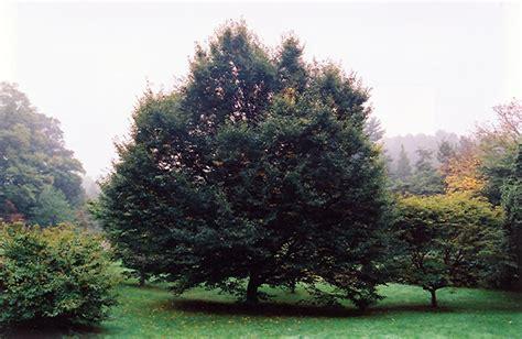 european hornbeam carpinus betulus  columbus dublin