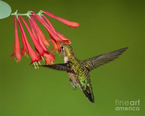 hummingbird drinking nectar from honeysuckle photograph by