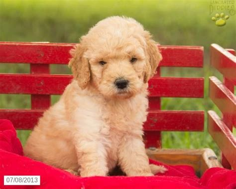 mini labradoodles height labradoodle puppy for sale adorable puppies dogs