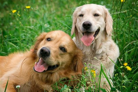 home remedies for fleas on puppies home remedies for fleas