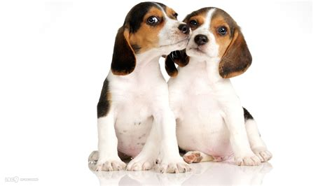 white beagle puppies two beagle puppy on a white background wallpapers and images wallpapers pictures