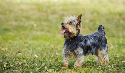 what is the expectancy of a yorkie terrier breed information