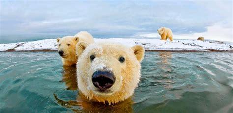 churchill polar bears dispatches from the polar capital of the world