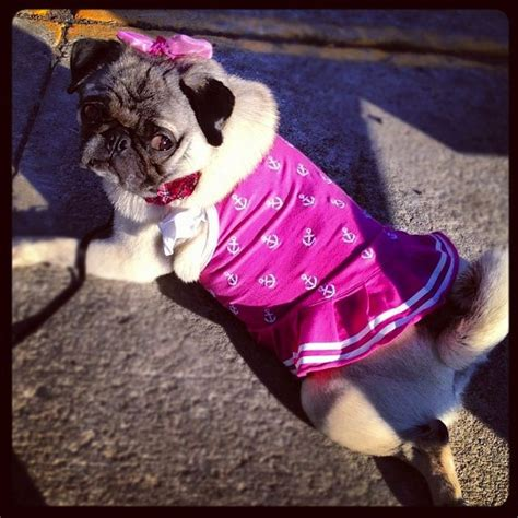 pug bathing suit 1185 best pugs images on pets pug and animales
