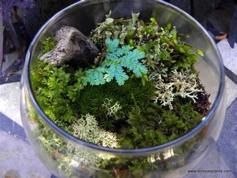 live moss and lichen terrarium kit here comes the sun pinterest