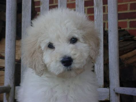 goldendoodle puppies for sale in md home doodledogpups