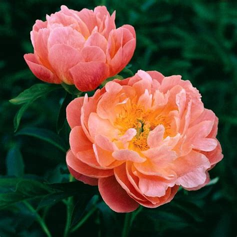 pink hawaiian coral peony plants for the garden pinterest