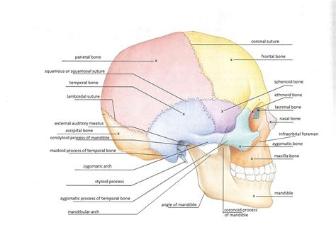 labeled skull diagram diagram of cranium 28 images dentistry lectures for