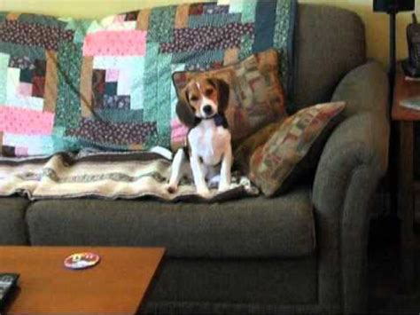 beagle puppy howling howling beagle featuring snooty doovi