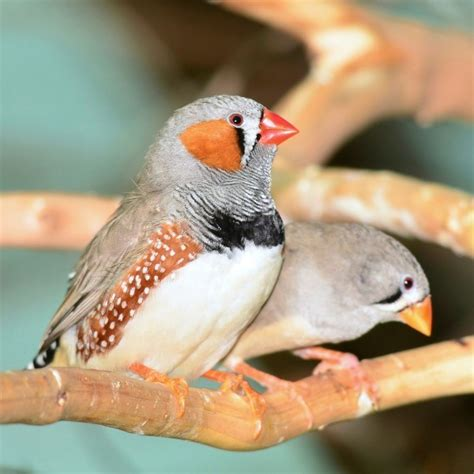 caring for zebra finches thriftyfun