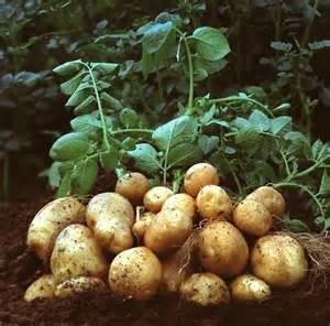 how to grow potatoes the garden of eaden