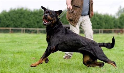 rottweiler attacks two year in hospital with serious injuries after rottweiler attack uk