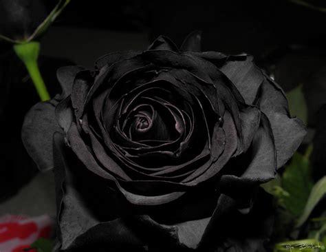 rosas negras imagenes gratis fotos rosa negra imagens rosa negra clickgr 225 tis