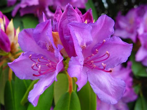 state flower of virginia west virginia state flower rhododendron forestwander flowe flickr