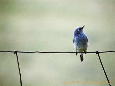 blue bird wallpapers wallpaper cave