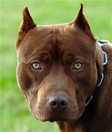 original breeds breed spotlight the original real pitbull ultimatebarkcontrol