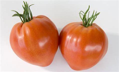 pomodori cuore di bue in vaso piante di pomodoro cuor di bue cauralina f1 in vaso 10 cm
