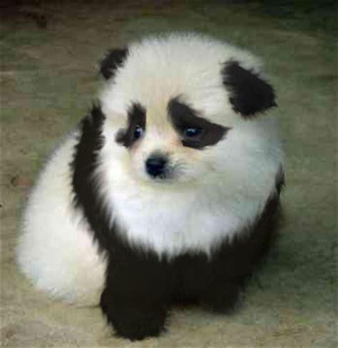 panda looking pomeranian for sale 25 b 228 sta panda id 233 erna p 229 gulliga djurungar pandor och panda