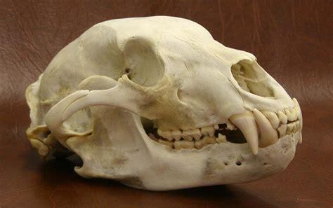 bear skull tattoo skull search inspiration