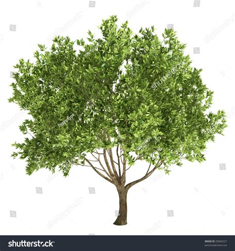 images of trees olive tree isolated stock illustration 29060227