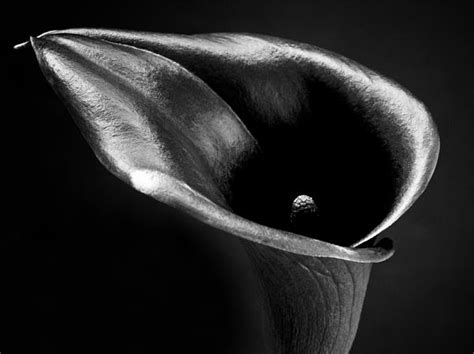 calla lily black and white photo things i like pinterest