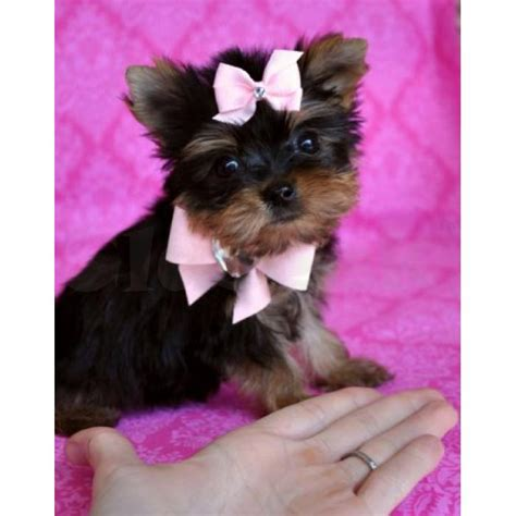 yorkie puppies for sale melbourne teacup yorkie puppies for sale melbourne claseek australia