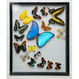 17 Buterfly Jumbo Waka 17 butterfly flight display black frame
