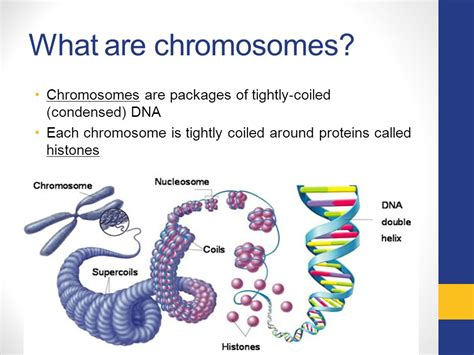 what is a section of a chromosome called chromosomes genes and mutations ppt video online download