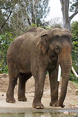 asian elephant simple english wikipedia   encyclopedia
