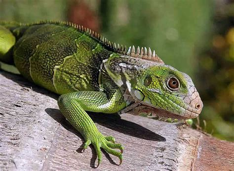 imagenes animales que se arrastran canalred gt fotografias de animales terrestres gt iguana